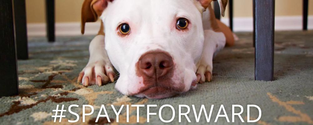 pitbull_spaydayWeb